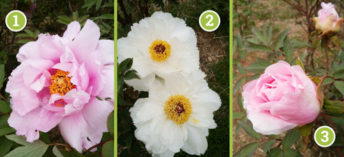 Name 3 new species of peony