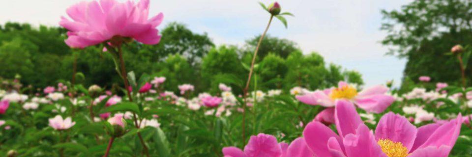 The Peony Garden Tokyo