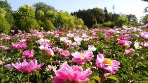 Full bloom of peonies
